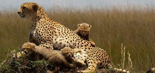 Cheetahs in Kidepo